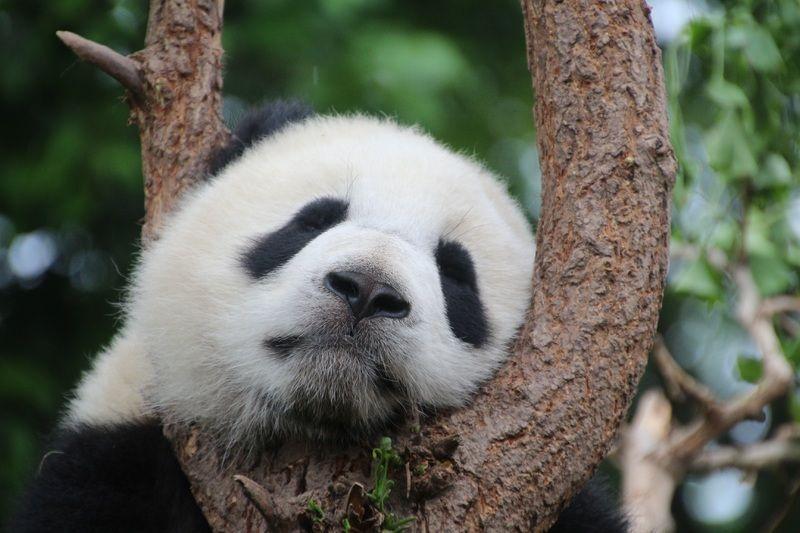 Private Half-Day Chengdu Panda Breeding Center Tour with Optional Panda Feeding